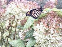 Our Monarch Butterfly