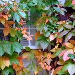 """Ivy Window"" by dedleman"