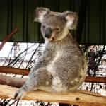 """Koala, Brisbane, Australia"" by snaptherapy"