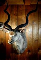 African Greater Kudu