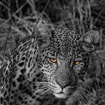 """Adolescent Leopard"" by barbarayoungleson"