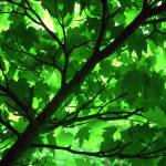 """""""Sycamore canopy"""" by crypticpixel"""
