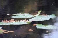 Floating Lillies