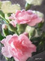 Pink and White Carnations 1