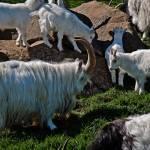 """Icelandic goat"" by davideagle"