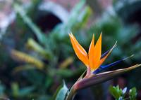 San Miguel Mexico Colorful Flower Bird of Paradise
