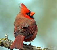 feathered red