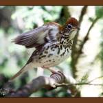 """wood thrush song and dance"" by jakigoodphotography"