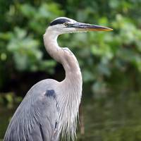 great blue HERON blue great