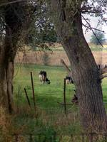 Dairy Cattle at Pasture