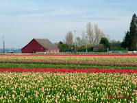 Tulip fields in bloom