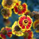 """september blooms"" by jakigoodphotography"