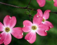 spring starring the pink dogwood