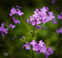 little purple flowers