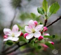 apple blossom special