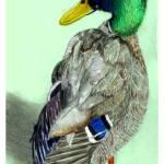 """duck quack quack"" by gazzman"