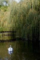 Swan with willow