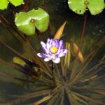 """water lillies"" by digitalbeauty"