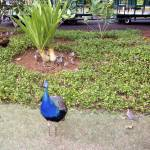 """""""peacock from smith family lua"""" by digitalbeauty"""