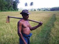 A Farmer at his Paddy field