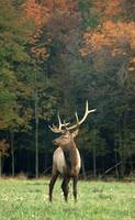 Bull Elk in Fall