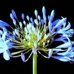 """Agapanthus"" by indiannes"