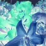 """Flowers Negative"" by parakeetart"