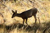 Mule Deer in Kaibab Forest