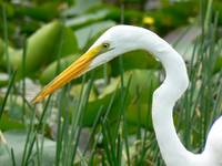 Great Egret#5