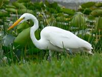 Great Egret#3