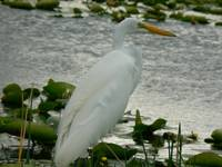 Great Egret#6