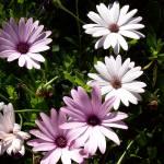 """""""Garden Daisies"""" by indiannes"""