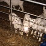 """Goat Kidz"" by amnisorbs"