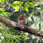 """Jungle Owlet"" by SivamDesign"