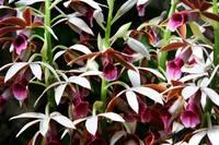 orchid profusion