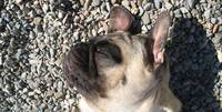 Pug Fun in the Sun