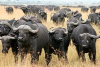 African buffaloes in defensive stance, Masai Mara