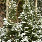"""Kaibab Forest Snowfall"" by rayjacque"