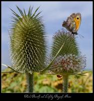 Teasel, Butterfly and Ladybird, Burgundy, France