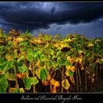 """Sunflowers and Rainclouds, Burgundy, France"" by stefanbungart"