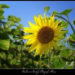 """Sunflower in Sunlight, Burgundy, France"" by stefanbungart"