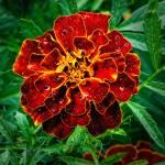 """Marigold (tagetes patula)"" by stefanbungart"