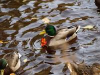 Duck wearing a leaf