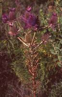 Thistles - scanner crop test