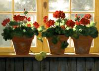 Red Geraniums Basking