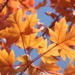 """FALL ART Orange Autumn Leaves Blue Sky Baslee"" by BasleeTroutman"