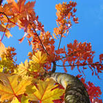 """FALL TREES Autumn Leaves Art Blue Sky Baslee"" by BasleeTroutman"