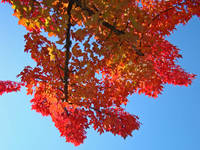 LEAVES Red Fall Leaves Autumn Trees Art Blue Sky