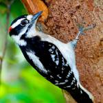 """Downey Woodpecker"" by DAD"
