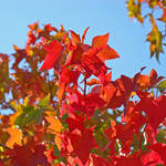 """""""AUTUMN LANDSCAPE Fall Art Red Leaves Blue Sky"""" by BasleeTroutman"""